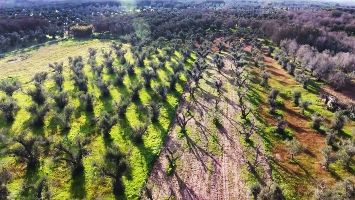 L'Agricoltura Simbiotica e gli ulivi del Salento